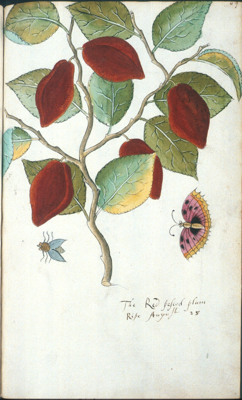 The Red pescod plum