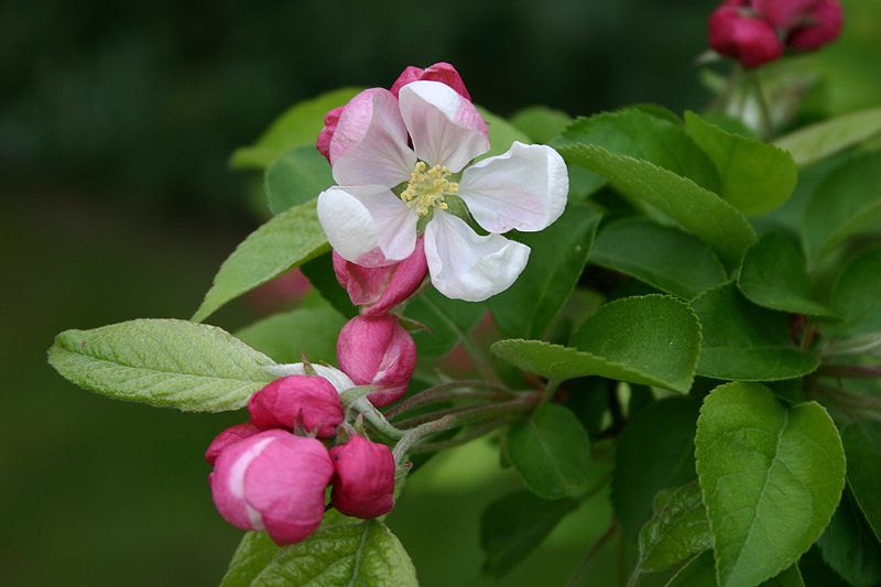 File:Malus unknown.jpg