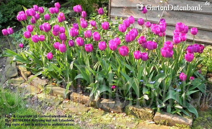 Tulipa Triumph Lila