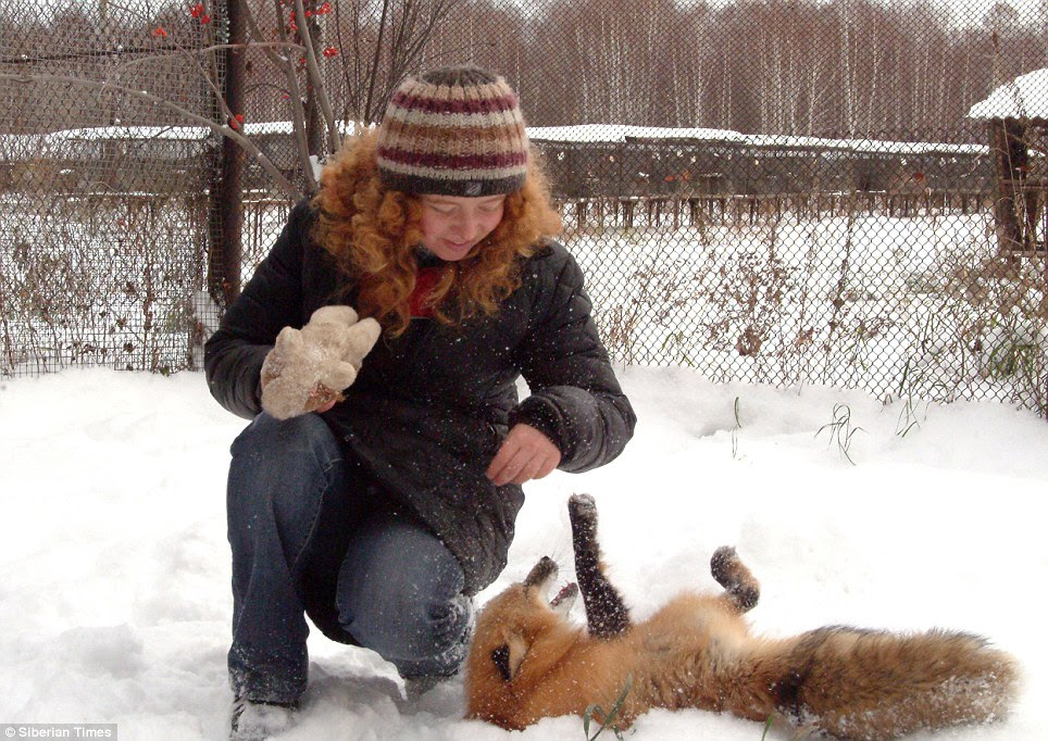 Lie down: Training the foxes to obey basic commands took 15 minutes a day for three weeks, shocking Irina at how quickly the animals learned
