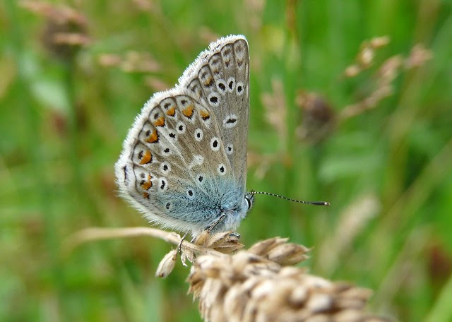 24784 - Common Blue, Llangorse Lake