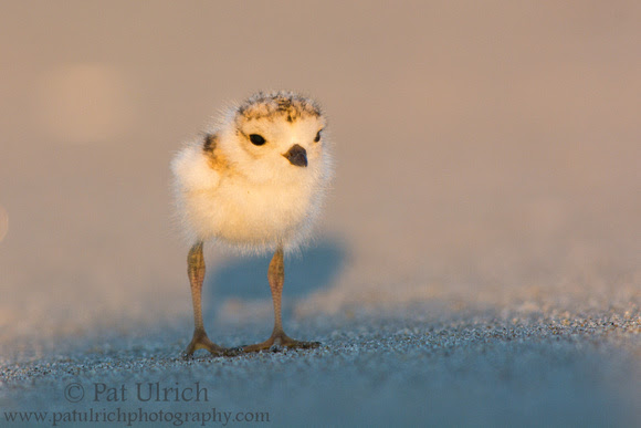 Photograph of a plover chick stepping into the shadow of my hat