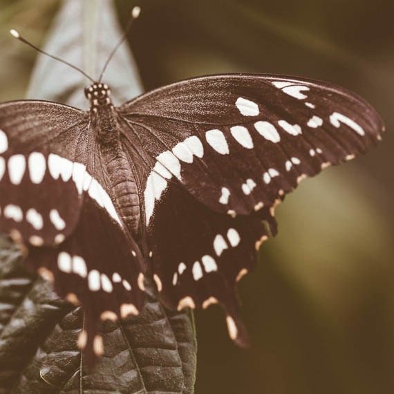 Brown Butterfly Swallowtail Fine Art Print Nature Photograph Whimsical Butterfly Wall Decor - ImagePoet