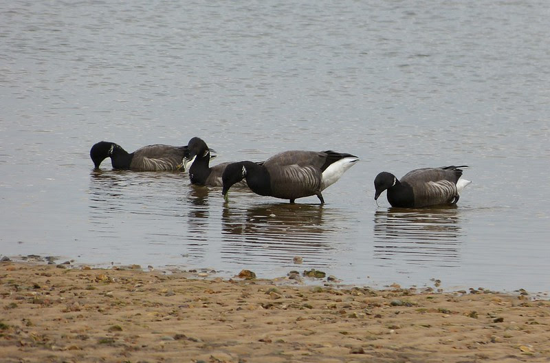 28985 - Brent Geese, Wells-next-the-Sea
