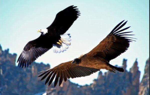 http://img.over-blog-kiwi.com/0/99/46/25/20140825/ob_076f98_wiracocha-aigle-eagle-condor-tours-cus.jpg