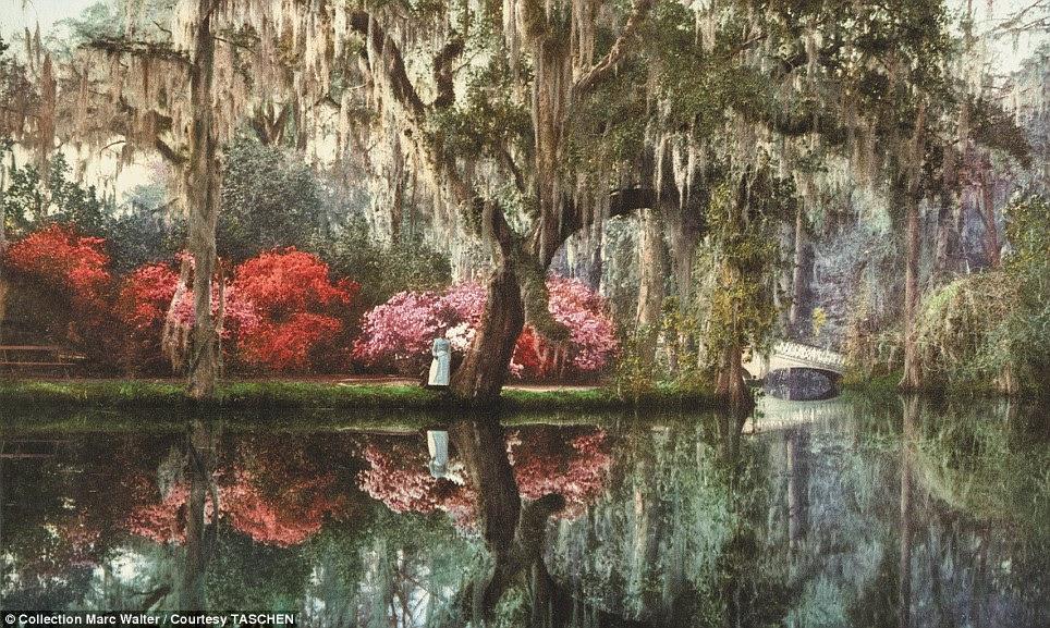 Vida Sul: Uma plantação de magnólia é mostrado em flor na beira do rio Ashley em Charleston com uma mulher local ficou olhando para a água