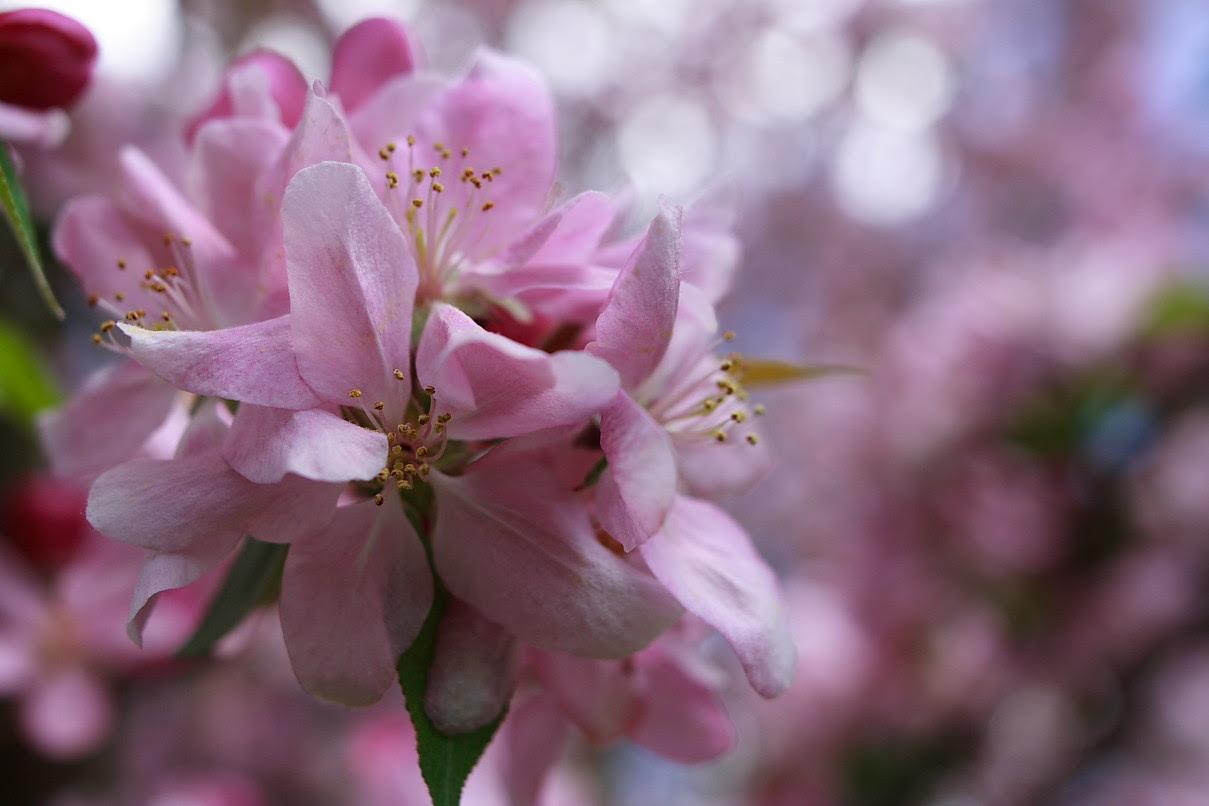 800 Wallpaper Apple Bloom  Paling Baru