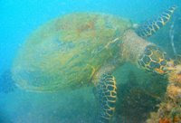 Betsy, our resident turtle at Pulau Hantu, photo by Toh Chay Hoon