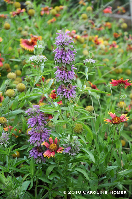Indian paintbrush and lemon beebalm