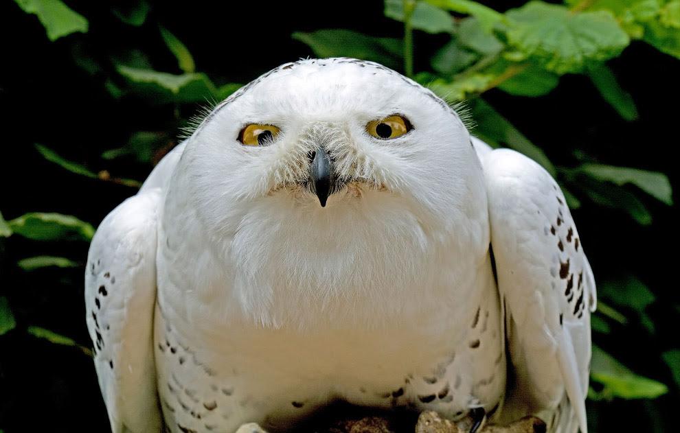 Портрет белой совы