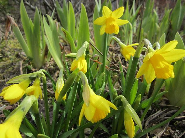Easter daffodils (1)