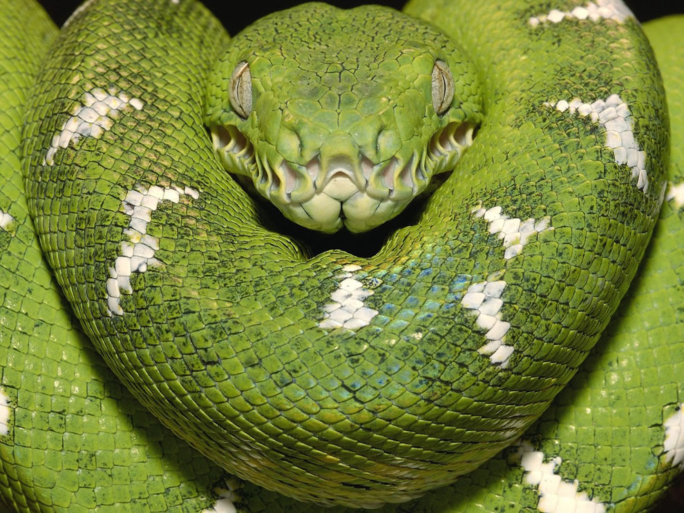 Emerald boa Amazon Equador