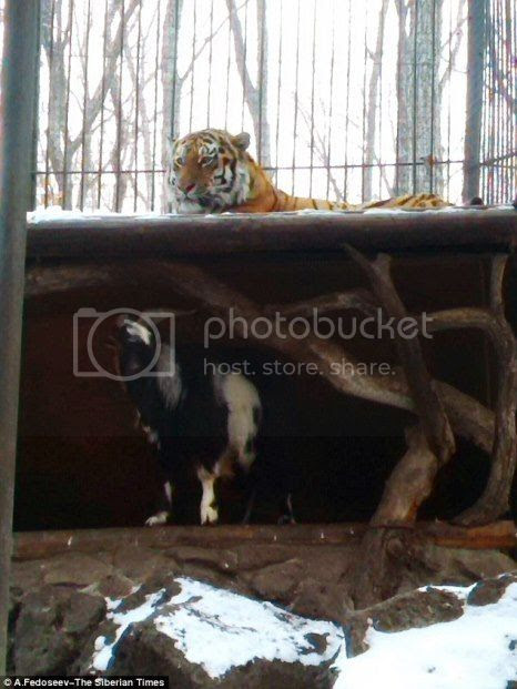 photo 02 Timur the Goat amp Amur The Tiger Friends_zpsglijmorn.jpg