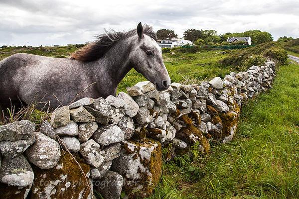 Horse, Connemara, Ireland