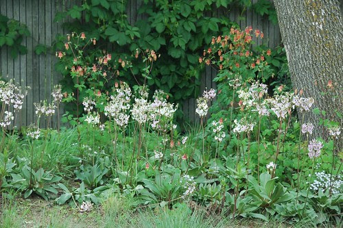 Dodecathon meadia and Aquilegia canadensis