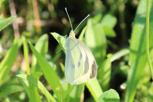 IMG_0517_Cabbage_White_Butterfly