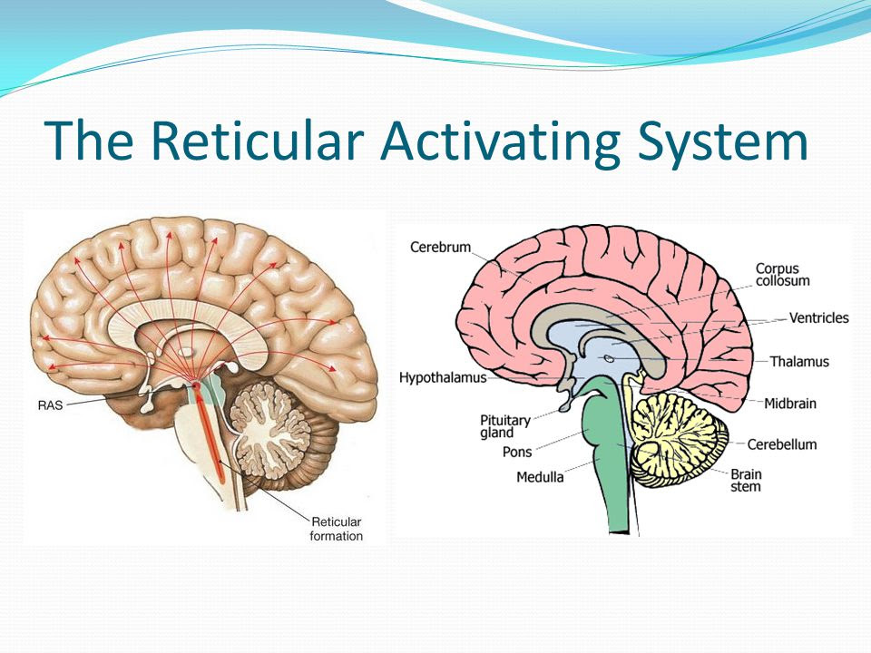 The+Reticular+Activating+System