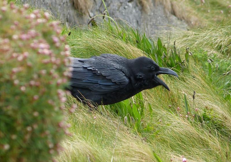 P1040830 - Raven, Mumbles Head