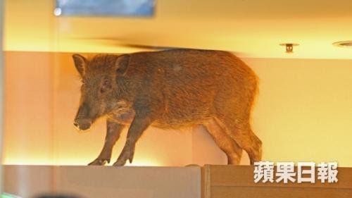 當文化研究遇上迷途小豬