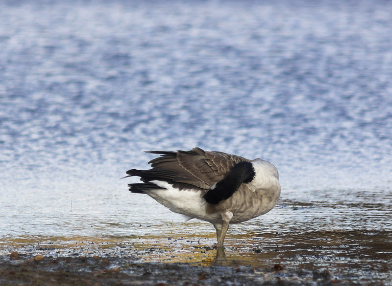Headless Barnacle Goose