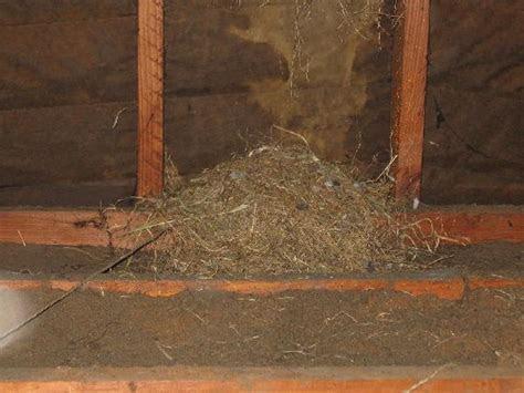 Large rodent nest in the attic   The House Whisperer Blog.com   Pinte