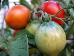 Tomato Color Stages