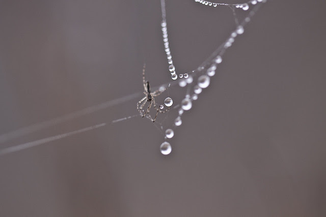 web drops and spider