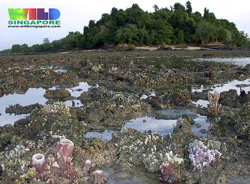 Rich coral rubble of Chek Jawa