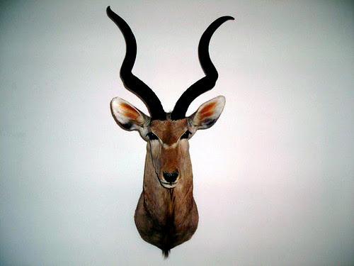 Antilope murale