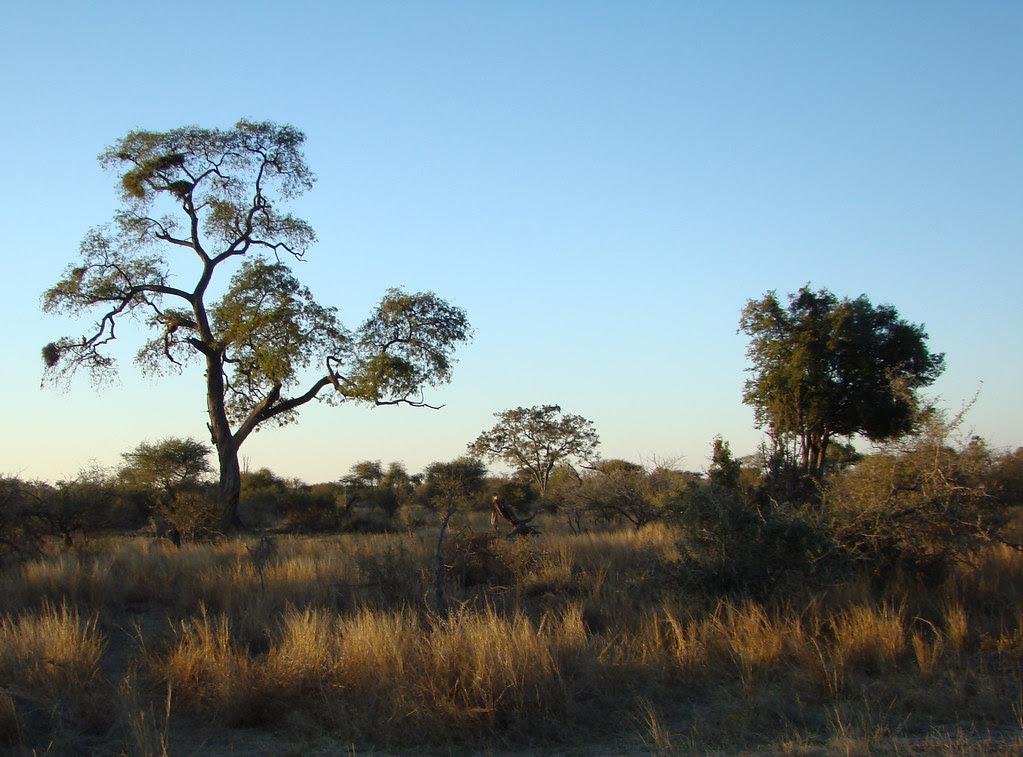 DSC08451 Vulture nests in tree