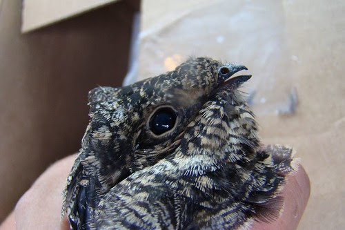 The nighthawk that was not a PEREGRINE