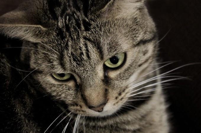 ¿Cuáles son los síntomas y el tratamiento de la pancreatitis en gatos?