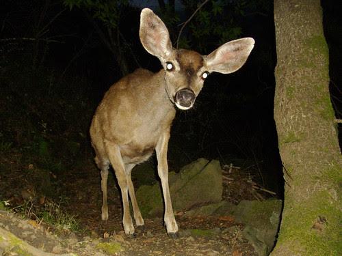 vain deer