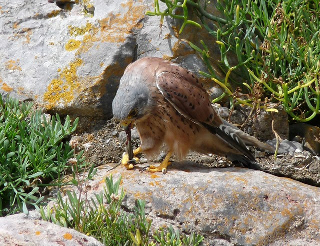 24984 - Kestrel, Oxwich Point