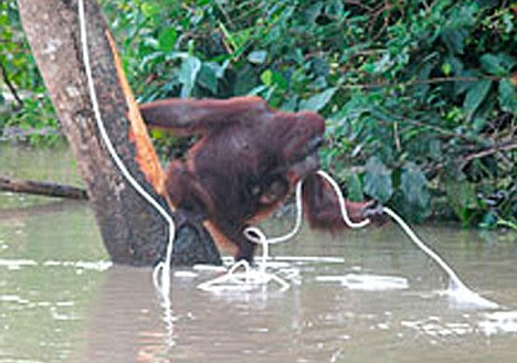 Easy does it: The mother orang-utan, her baby clinging to her chest, catches the rope thrown to her by wildlife officials