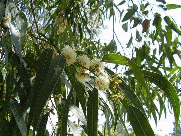 eucalipto - propiedades toxicidad