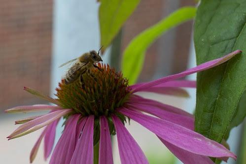 Bienchen auf dem Sonnenhut
