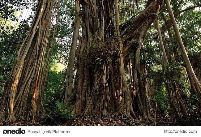 24. Banyan ağaçları dallarından kök salabilme özelliği olan ilginç bir türdür.