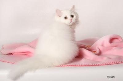 White Traditional Persian kitten