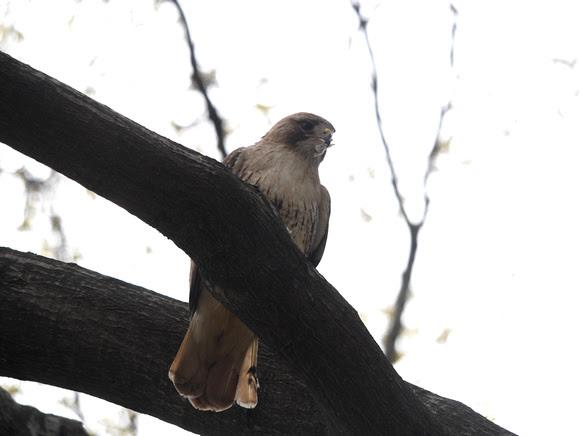 Ed Gaillard: birds &emdash; Red-Tailed Hawk, Sheep Meadow, Central Park