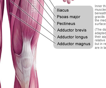 Anterior Muscles of the Human Body