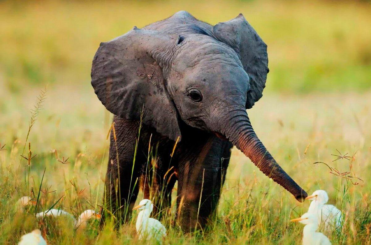 Cuidados Y Convivencia Del Bebé Elefante Imágenes Y Fotos