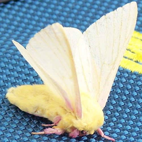 Rosy Maple Moth - 18