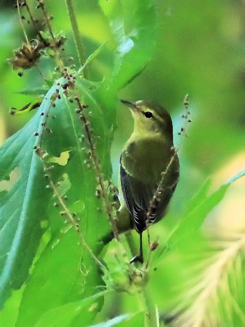 Tennessee Warbler 2-20130911
