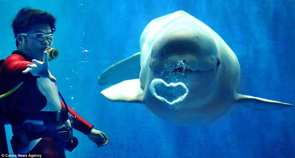 I'm forever blowing bubbles: A white Beluga whale produces a heart-shaped pocket of air for visitors at Harbin Polarland in Harbin, China