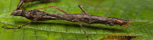 stick insects mating pano copy