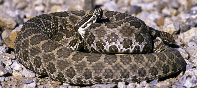 Be Snake Savvy And Be Safe In The Outdoors 7 19 18 2018 Weekly News News Archive News Kdwp Info Kdwp Kdwp