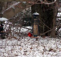 Cardinal_31908
