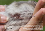 dwarf hamster bites stitches & pulls off e-collar day 3 after surgical excision big tumour. toapayohvets, singapore