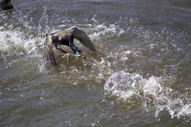 duck fight - angry mallard